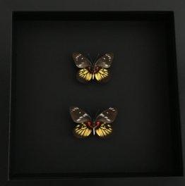 Set Von 2 Echte Schmetterlinge Henningia Den Philippinen Eingebürgert Unter Schwarz Lackiertem Holzrahmen-Curiosite-Entomologie