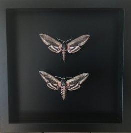 Wunderschönes Paar Echter Ligustri-Sphinx, Eingebürgert Unter Großen Rahmen Aus Schwarz Lackiertem Holz Mit Schwarzem Hintergrund -Privet